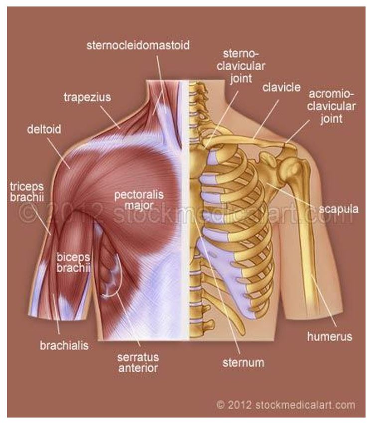 Shoulder Fractures And Acromioclavicular
